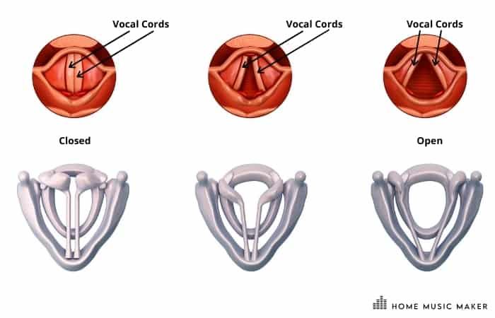Vocal Cords Illustration =